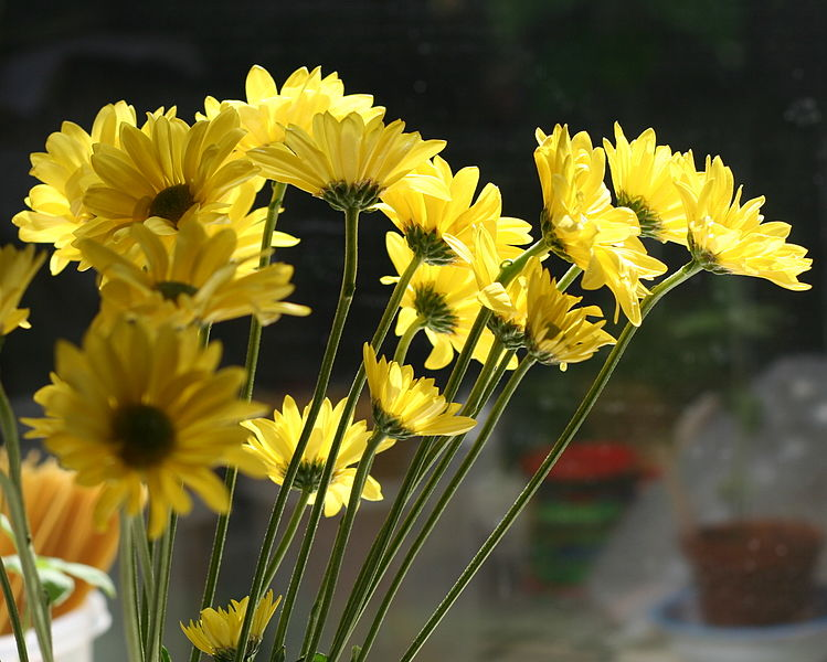 File:Yellow carnation.jpg