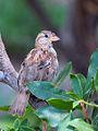 Young Italian Sparrow.jpg