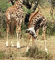 Young Maasai Giraffes.jpg
