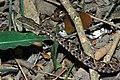 Young Terciopelo (Bothrops asper) (6781398241).jpg