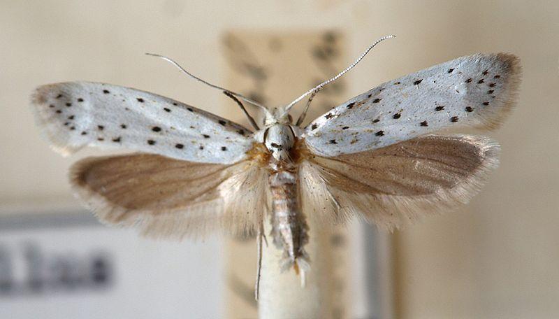 http://upload.wikimedia.org/wikipedia/commons/thumb/0/08/Yponomeuta.malinellus.mounted.jpg/800px-Yponomeuta.malinellus.mounted.jpg