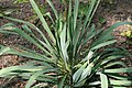Yucca filamentosa 18zz.jpg
