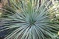 Yucca whipplei 2zz.jpg