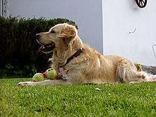 Zlaty Retrivr Wikipedie