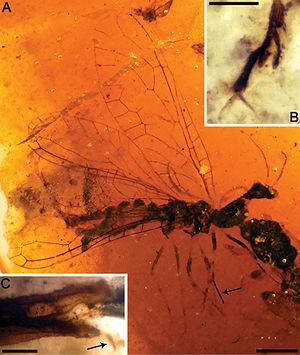 Snakefly - Amarantoraphidia