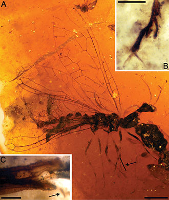 1925 in paleontology - Amarantoraphidia