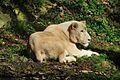 Zooparc de Beauval Lionne blanche.jpg