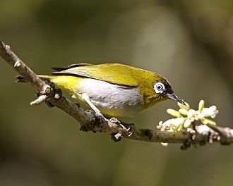 Black-capped white-eye - Image: Zosterops atricapilla