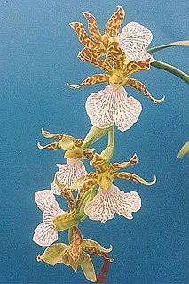 Zygopetalinae Subtribe of orchids
