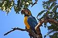 """Arara-canindé"" - Ara ararauna - pousada em sucupira-branca - Pterodon pubescens.jpg"