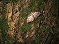 (1746) Shoulder-stripe (Anticlea badiata) (3315131574).jpg