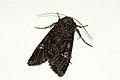 (2154) Cabbage Moth (Mamestra brassicae) (3851747586).jpg