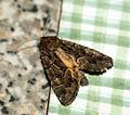 (2303) Straw Underwing (Thalpophila matura) (4930587220).jpg