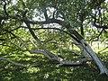 «Яблуня-колонія», ботанічна пам'ятка природи-6.JPG