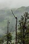 Águilas calvas (Haliaeetus leucocephalus), trayecto ferroviario escénico Seward-Anchorage, Alaska, Estados Unidos, 2017-08-21, DD 99.jpg