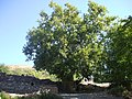 Çınar2 - panoramio.jpg
