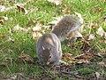 Écureuil gris (Sciurus carolinensis) (3).jpg