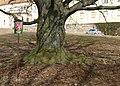 Červený buk v zámecké zahradě, Lomnice (1).JPG