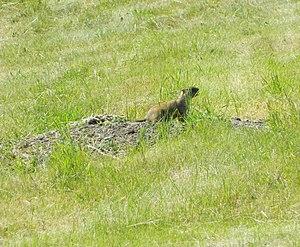 Bobak marmot - Regional Landscape Park «Dykanskyy» Ukraine.