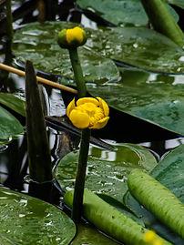 Жолт локван (Nuphar Luteum) 01.jpg