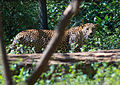 Индийский леопард.jpg