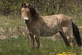 Кінь Пржевальського у Зоні відчуження.jpg