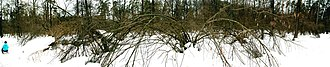 Corylus avellana - The Common Hazel in the forest near Kyiv in winter.