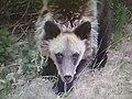 Медведь Кавыктинский обыкновенный).jpg