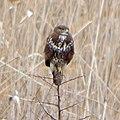 Обыкновенный канюк - Buteo buteo - Common buzzard - Обикновен мишелов - Mäusebussard (32099618990).jpg