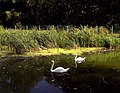 Рыльский район Марьино Парк Пруд Лебеди 2.jpg