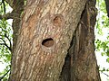 Старовинна груша на Карнаватці 16.jpg