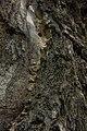 داخل درخت گردو - juglans 02.jpg