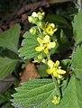 仙鶴草(龍牙草) Agrimonia pilosa -香港動植物公園 Hong Kong Botanical Garden- (9216086004).jpg