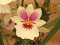 堇花蘭 Miltonia Herr Alexandre -香港花展 Hong Kong Flower Show- (9252392119).jpg