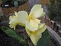大花美人蕉 Canna generalis Crema Vaniglia -泰國清邁花展 Royal Flora Ratchaphruek, Thailand- (9216083884).jpg