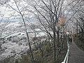 正福寺山公園 遊歩道と桜並木 - panoramio.jpg