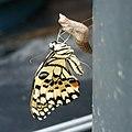 無尾鳳蝶 Papilio demoleus - panoramio (2).jpg