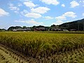 稲 - panoramio.jpg