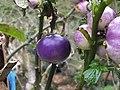 紫光茄 Solanum galeatum Andre. - panoramio.jpg