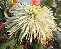 菊花-春桃醉面 Chrysanthemum morifolium 'Spring Peach Drunken Face' -中山小欖菊花會 Xiaolan Chrysanthemum Show, China- (11961609384).jpg