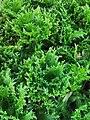 萵苣-綠火焰 Lactuca sativa 20201201130601 02.jpg