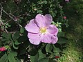 薔薇屬 Rosa macounii -巴黎植物園 Jardin des Plantes, Paris- (9166018470).jpg