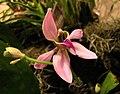 鉤唇蘭 Ancistrochilus rothschildianum -香港沙田洋蘭展 Shatin Orchid Show, Hong Kong- (30694035643).jpg