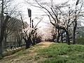 開成山公園 桜並木.jpg