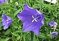 風鈴草屬 Campanula carpatica v turbinata -波蘭 Krakow Jagiellonian University Botanic Garden, Poland- (35850284254).jpg