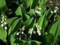 風鈴草 Convallaria majalis - panoramio.jpg