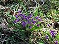 鹿島川畔野堇 Viola philppica - panoramio.jpg