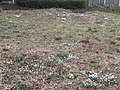 -2019-02-12 Snowdrops onthe common, Lower Southrepps (1).JPG