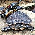 -zoo -istanbul -istanbulzoo -turkey -animals -tortoise (14291913672).jpg