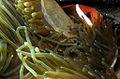 02-EastTimor-Dive Bobs-Rock 72 (Clown Fish)-APiazza.JPG